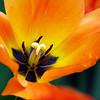 Tulip, NYBG