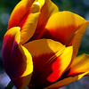 Wave Hill Tulip