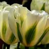 Tulips, NYBG