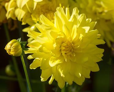 Yelloflowers