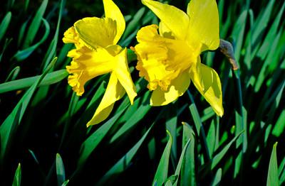 Daffodiles8