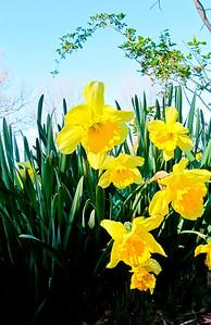 Daffodiles5