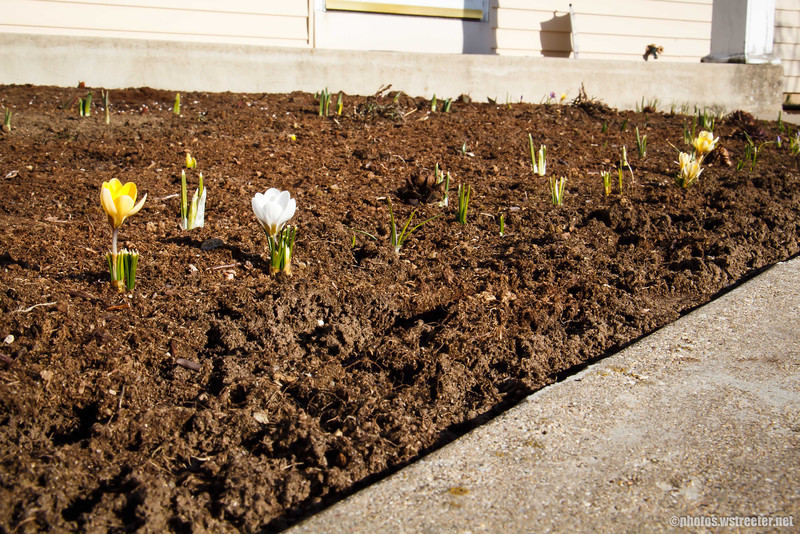 Budding Spring Flowers<br /> These are the flowers my wife and mom planted last fall.