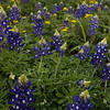 Bluebonnets & friends, Brenham, TX