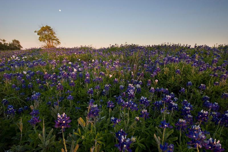 Moon rise over a field of bluebonnets, League City, TX