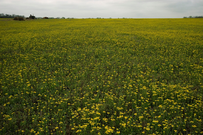 Field of unidentified yellow flowers near Brenham, TX.