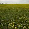 Field of unidentified yellow flowers near Brenham, TX.