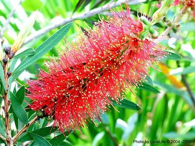 Bottlebrush Flower (Callistemmon
