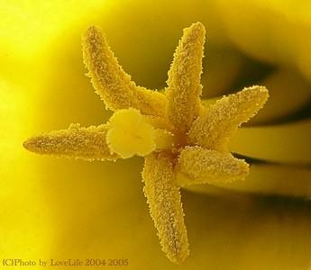 Daffodil Pistole