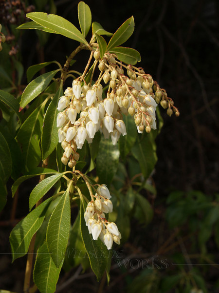 Japonica shrub