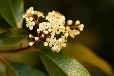 Photinia - Rosaceae Family