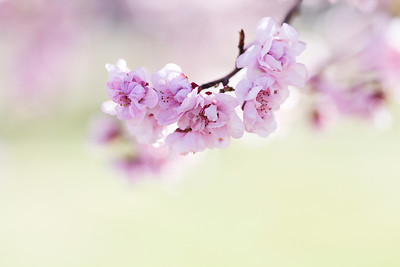 Pink Spring Blossoms