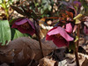 Purple Hellebore blooms in mid-March, PA