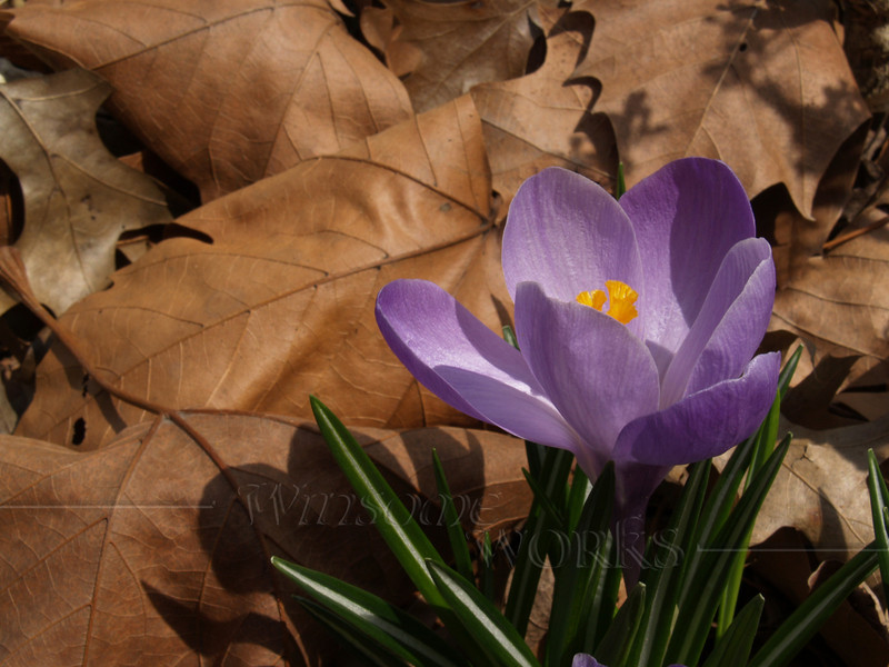 Purple Crocus in Dried Leaves