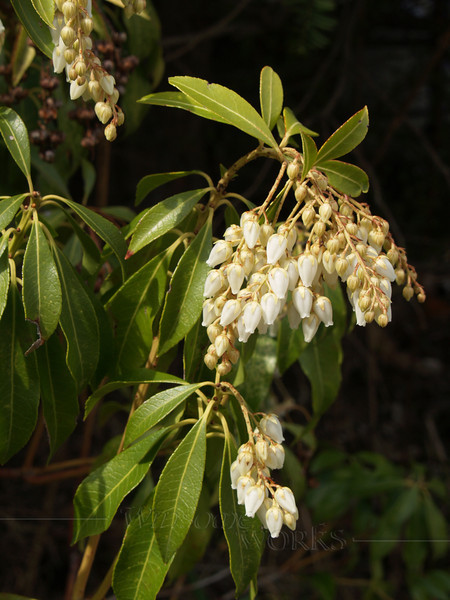 Japonica in Spring