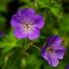 Blue flower macro