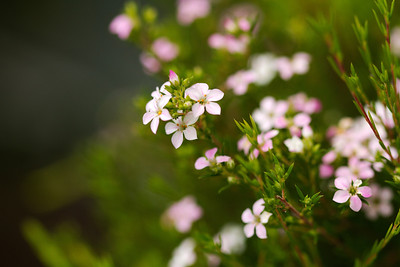 Tiny Diosma flower