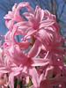 Pink Hyacinth macro