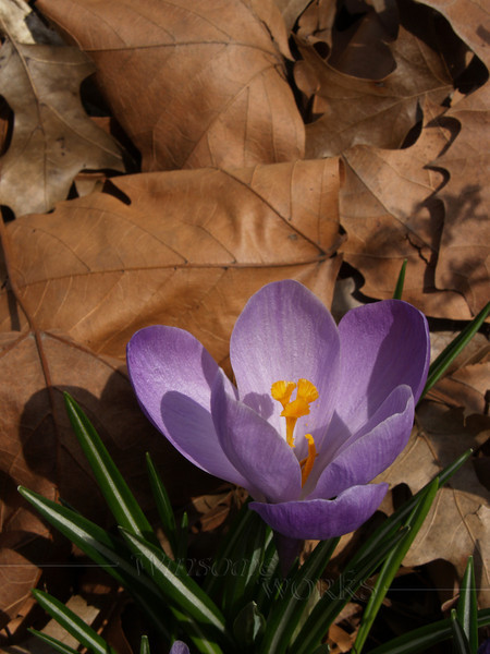 Purple Crocus amidst Dead Leaves