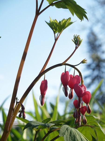 Perennial Bleeding Heart- Dicentra Spectabilis