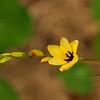 Corn Lily - Ixia
