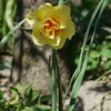 daffodil Oh Pairs