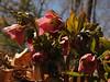 Hellebore, or Lenten Rose-- Sellersville, PA