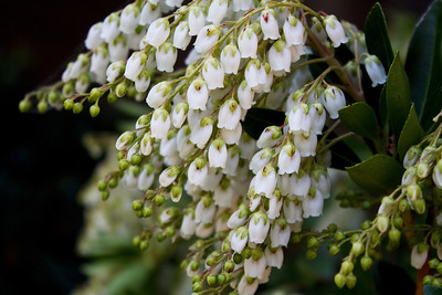 Tiny white bells