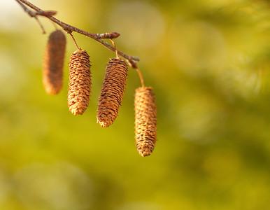 Birch seeds