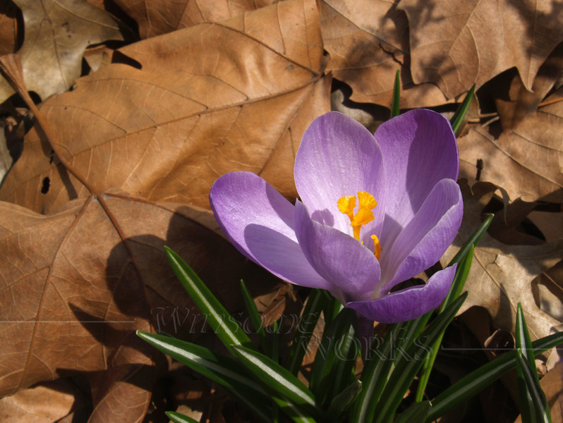 Crocus in dried leaves; April, Quakertown PA (Crocus vernus)