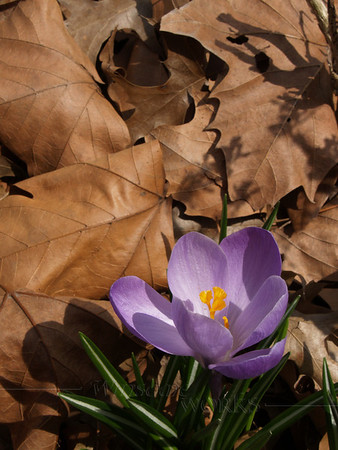 Crocus in Spring