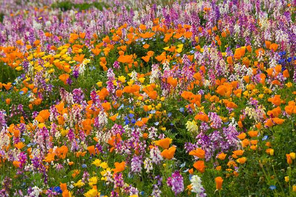 Spring Wildflowers II - the poppy has bloomed