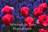 Pink tulips with grape hyacinths