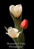 Tulip trio still life