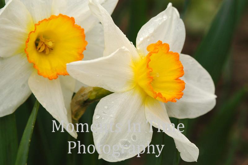 Daffodil jpaisr