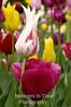 Candy stripe tulip