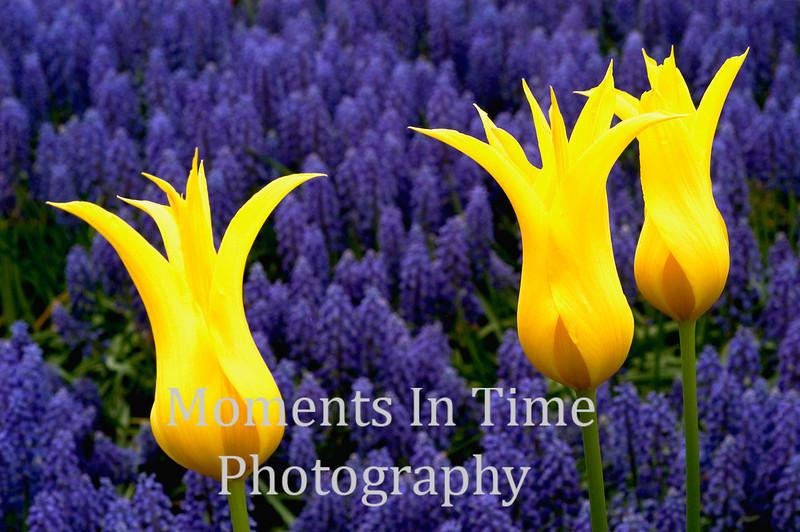 Yellow tulip trio