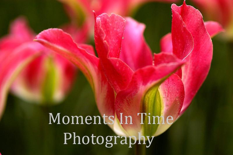 Candy Striped Tulip