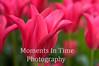 Pink trumpet tulip field