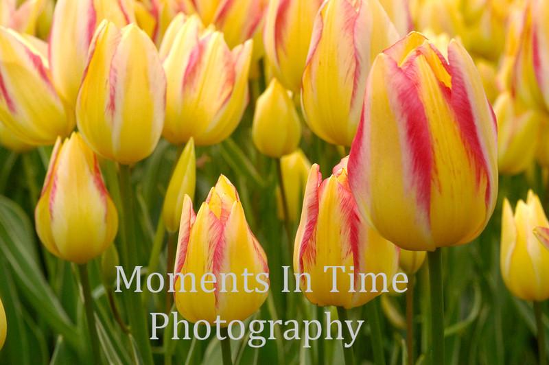 Yellow tulips array
