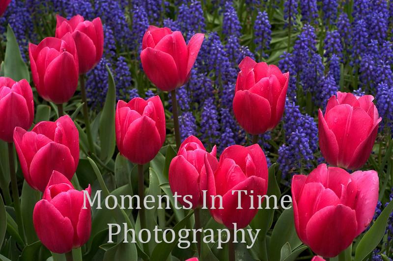 Pink tulips purple hyacinths