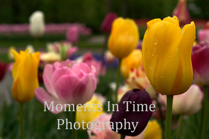 Colorful array of tulips