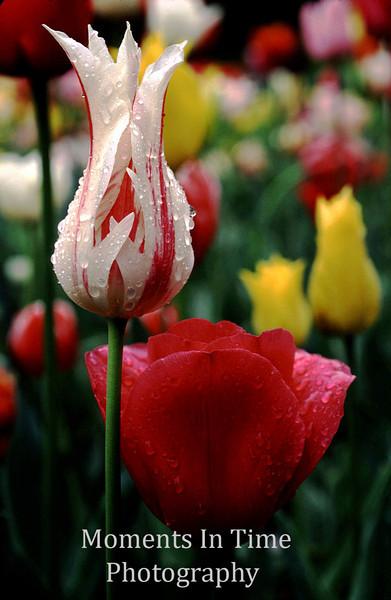 Candy stripe tulip in field