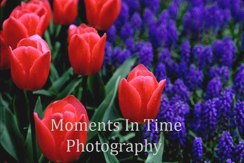 Red tulips in hyacinths