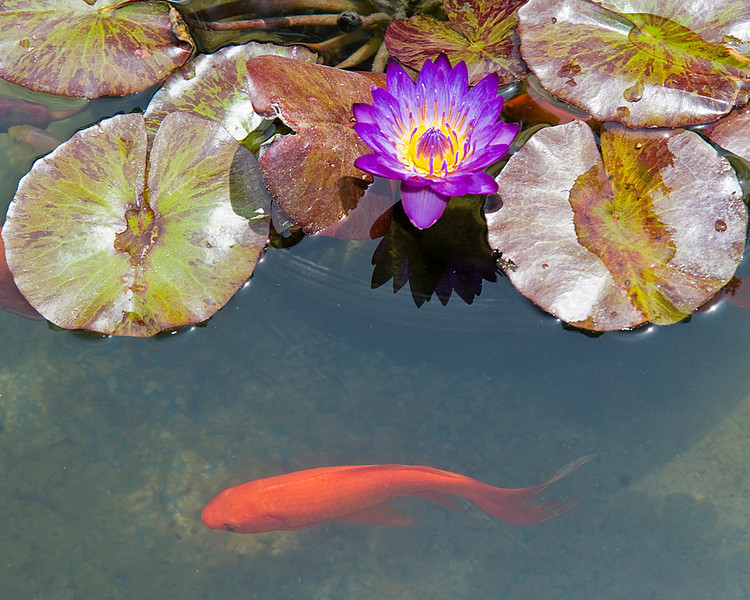 A koi fish swimming beneath a Tropical Water Lily plant. This gallery features random photos from my annual spring visit to Mercer Botanical Gardens, a place to enjoy some very vibrant natural beauty.