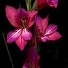 Gladiolas blooms