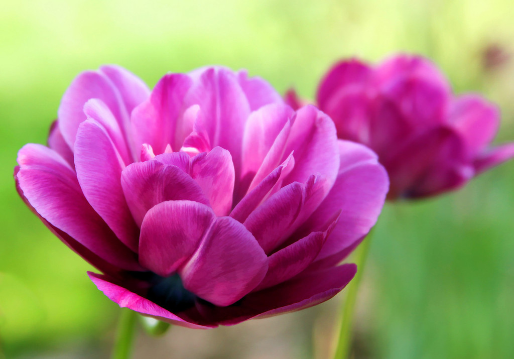 Enhanced Beauty Magenta Tulips