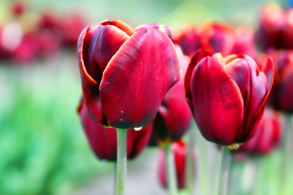 Dark red tulips