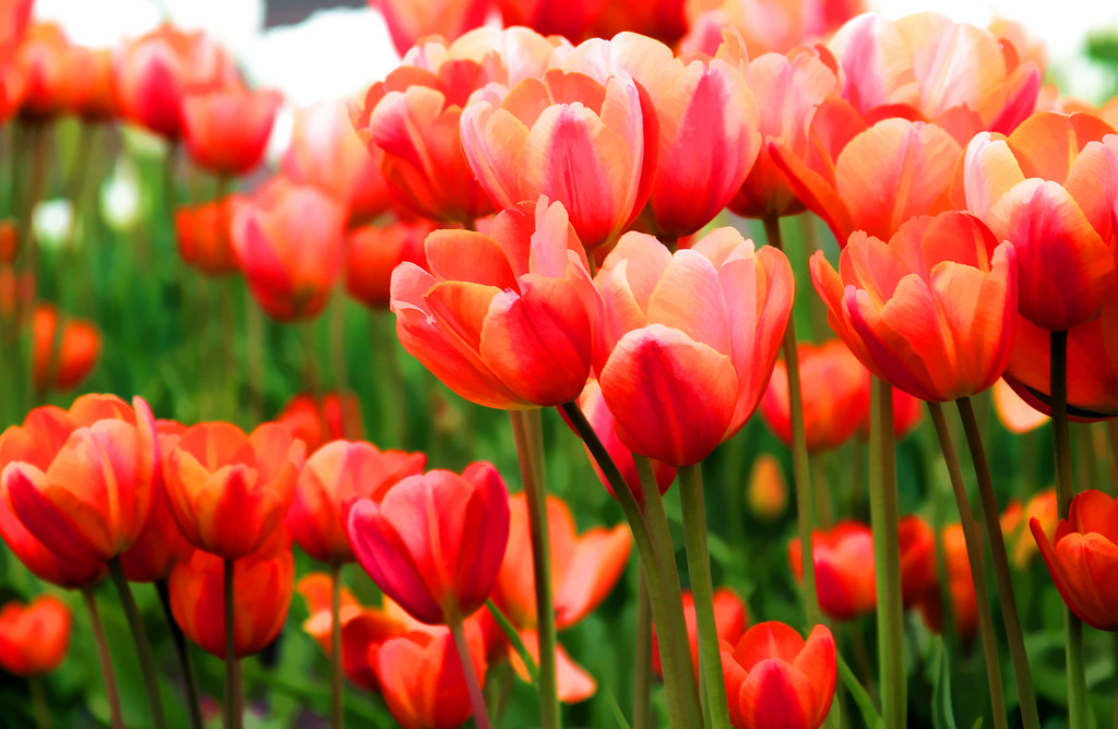 Rich tulips