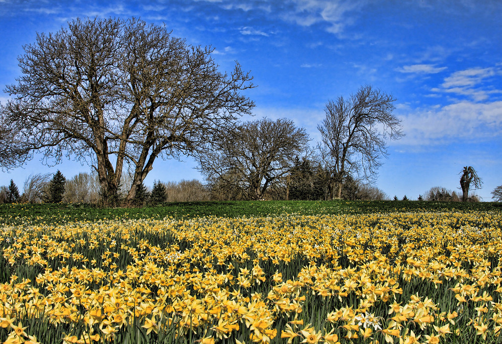 Field of daffodils